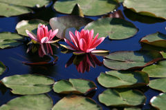 Two flowers in pond Stock Photo