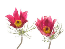 Two flowers Pulsatilla patens Royalty Free Stock Image