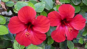 Two flowers of the red hibiscus. In the park stock video footage