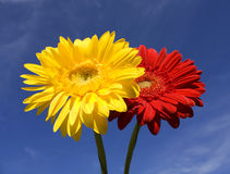 Two flowers red and yellow gerbera on blue sky. Horizontal image Royalty Free Stock Photos