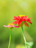 Two flowers  on soft green background Royalty Free Stock Photos