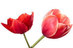 Two flowers Royalty Free Stock Photography
