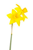 Two flowers and stem of a jonquil cultivar isolated on white Stock Images