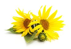Two flowers sunflowers. royalty free stock images