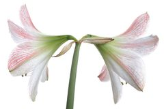 Two Flowers of White Lily Royalty Free Stock Image