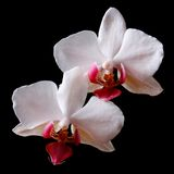 Two Flowers white orchid close up on black background Stock Photography