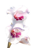 Two flowers of a white-red gladiolus Royalty Free Stock Images