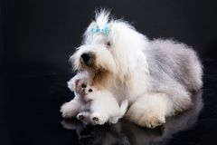 Two Fluffi Dogs Royalty Free Stock Photo