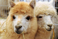 Two fluffy alpacas Royalty Free Stock Photography