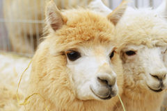 Two fluffy alpacas Royalty Free Stock Photo