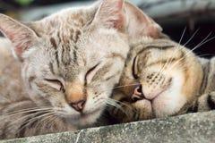 Two fluffy beautiful. Cute sleeping kitten cat. Two fluffy beautiful. Cute sleeping Royalty Free Stock Image