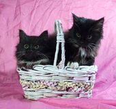 Two fluffy black and white kitten sitting in basket on pink Royalty Free Stock Photo