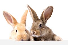 Two fluffy bunnies look at the signboard. Isolated on white background Easter Bunny. Red and gray rabbit peeking. stock image