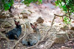 Two fluffy bunny lying down resting in the shade of a tree Stock Image