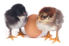 Two fluffy chicken stand near the eggs isolated Royalty Free Stock Photo