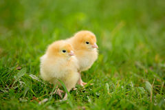 Two fluffy chicks walks in green grass Stock Photography
