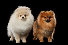 Two Fluffy Cute White and Red Pomeranian Spitz Dogs isolated Royalty Free Stock Photography