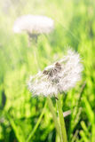 Two fluffy dandelion Stock Photography