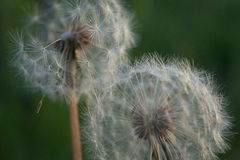 Two fluffy dandelions Stock Image