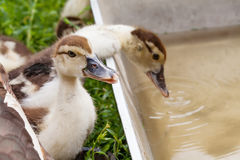 Two fluffy duckling. one of the ducks drinking water. close-up, soft focus Royalty Free Stock Image