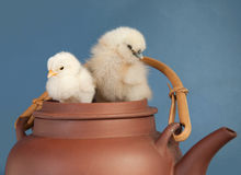 Two fluffy Easter chicks Stock Photo