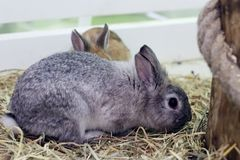 Two fluffy, gray and brown bunnies sit near a wooden hemp. The ears of the second rabbit are visible from behind the back of the. The ears of the second rabbit stock image