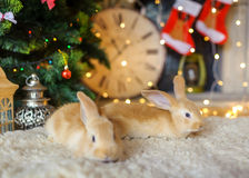 Two fluffy hares under a New Year tree stock photo