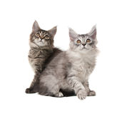 Two fluffy kittens. Isolated on white background Stock Image