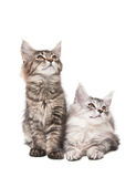 Two fluffy kittens. Isolated on white background Royalty Free Stock Image