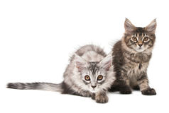 Two fluffy kittens Stock Photos