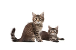 Two fluffy kittens. Isolated on white background Stock Photography