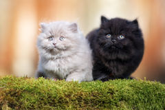 Two fluffy kittens outdoors together Stock Images