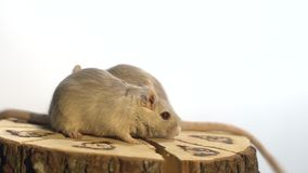Two fluffy mice sit on a decorative wooden stump and sniff it while it turns. Domestic rodents spinning on a wooden stump stock video footage
