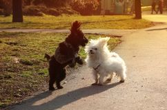 Two Fluffy Puppies humping and chasing each other in the park on a sunny day stock image