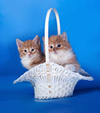 Two fluffy red and white kitten sitting in basket on blue Stock Photography