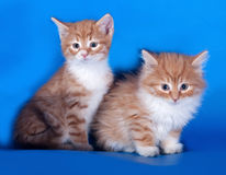 Two fluffy red and white kitten sitting on blue Royalty Free Stock Photos