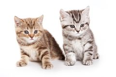 Two fluffy tabby kitty british cat royalty free stock photography