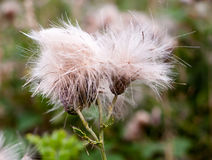 Two fluffy white buds of wild milk thistle outside in field Stock Photos
