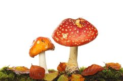 Two fly agaric mushrooms. Fly agaric mushrooms growing in moss and leaf litter against a white background stock photos