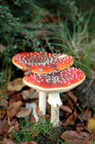 Two fly agarics Royalty Free Stock Image