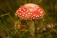 Free Two Fly Agarics Musrooms Royalty Free Stock Images - 64623999