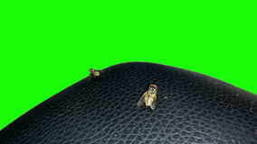 Two fly on the black leather with a green background stock footage