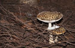 Two fly mushroom at pine forest fly agaric or fly amanita royalty free stock photography