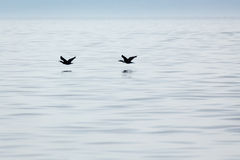 Two flying birds skim the water looking for fish to eat Stock Photography