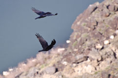 Two Flying Common Ravens Viewed from Above Royalty Free Stock Image