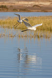 Two flying egrets royalty free stock images
