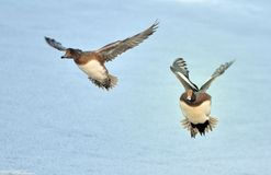 Two flying European Widgeons. Two European Widgeons flying over winter snow.  Probable species:  Anas penelope Royalty Free Stock Photos