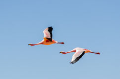 Two flying flamingo Stock Images