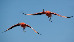 Two Flying Flamingos. Royalty Free Stock Photos