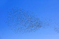 Two flying flock birds Royalty Free Stock Images
